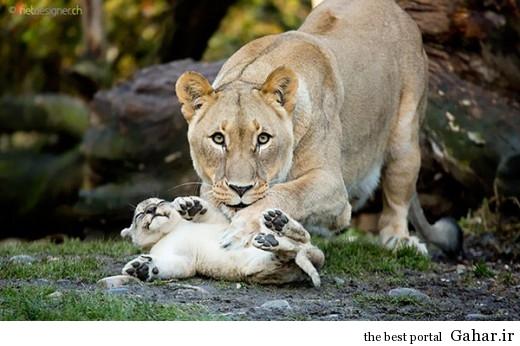 animal parents 13 520x346 عکس های فوق العاده زیبا از رابطه حیوانات با فرزندانشان