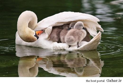 animal parents 2 520x352 عکس های فوق العاده زیبا از رابطه حیوانات با فرزندانشان