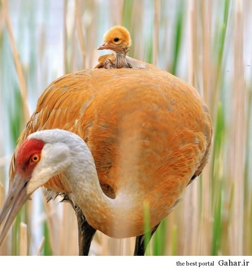 animal parents 20 520x552 عکس های فوق العاده زیبا از رابطه حیوانات با فرزندانشان