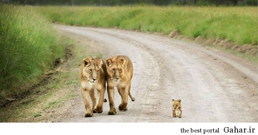 animal parents 23 520x272 عکس های فوق العاده زیبا از رابطه حیوانات با فرزندانشان