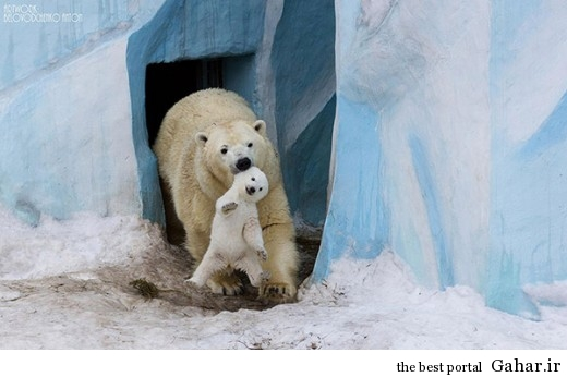 animal parents 3 1 520x346 عکس های فوق العاده زیبا از رابطه حیوانات با فرزندانشان