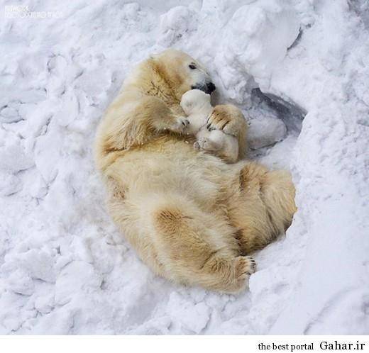 animal parents 3 2 520x498 عکس های فوق العاده زیبا از رابطه حیوانات با فرزندانشان