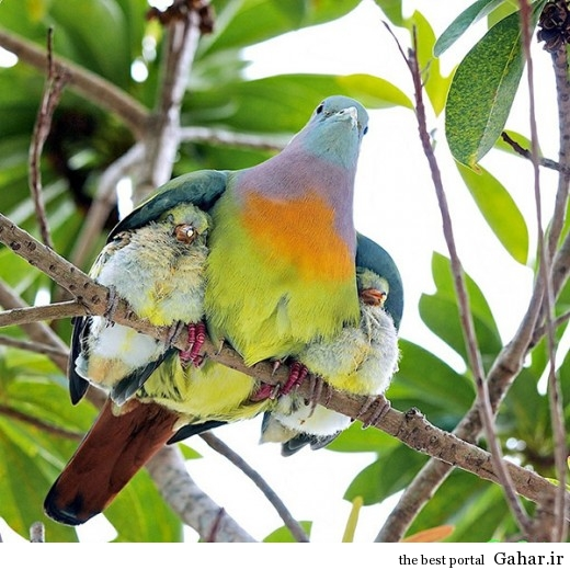 animal parents 4 520x520 عکس های فوق العاده زیبا از رابطه حیوانات با فرزندانشان