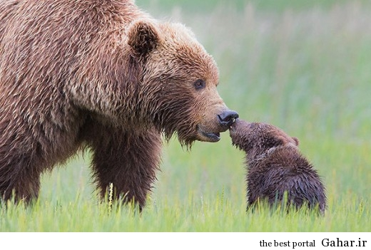 animal parents 40 520x351 عکس های فوق العاده زیبا از رابطه حیوانات با فرزندانشان