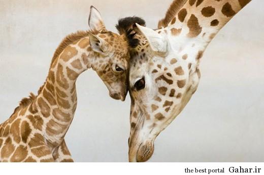 animal parents 5 520x346 عکس های فوق العاده زیبا از رابطه حیوانات با فرزندانشان