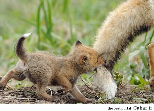animal parents 7 520x375 عکس های فوق العاده زیبا از رابطه حیوانات با فرزندانشان