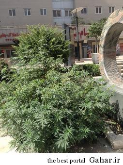 000000000 dsdvsfe 30 وقتی در خیابان های تهران ماری جوانا کاشت می شود