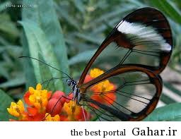 6354068054910918236 کمیاب ترین پروانه های جهان