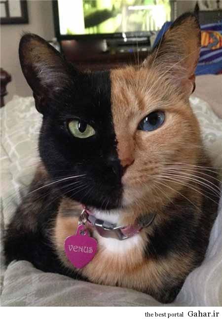 fa4 88 ونوس ، گربه ای که شبیه هیچ گربه ای نیست! / عکس