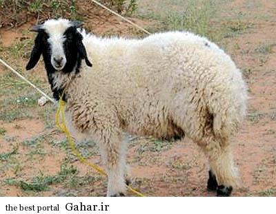 goosfan ghorbani انگشتر الماس در شکم گوسفند قربانی شده در عید