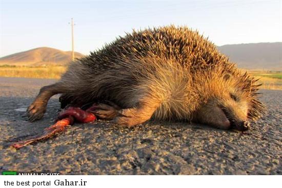 hygtyert تلفات حیوانات در جاده های کشور
