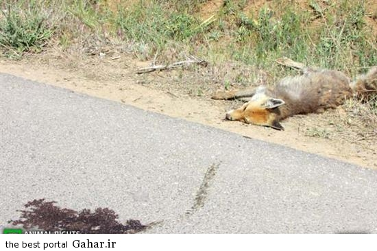 hygtyert2 تلفات حیوانات در جاده های کشور