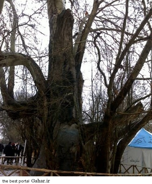 1 large درخت شیرین و فرهاد / عکس