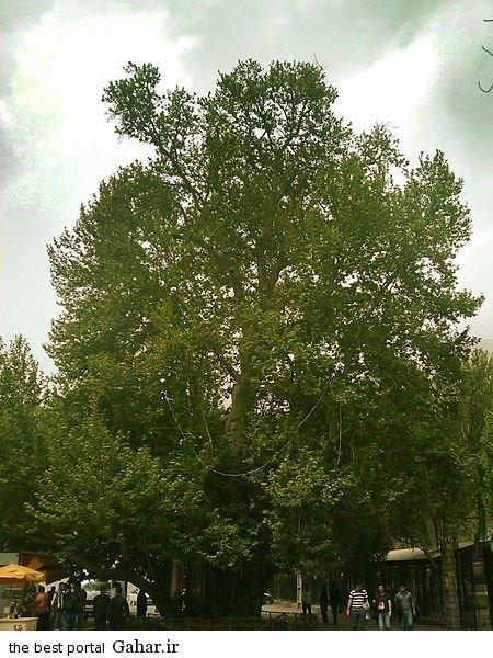 2 large درخت شیرین و فرهاد / عکس