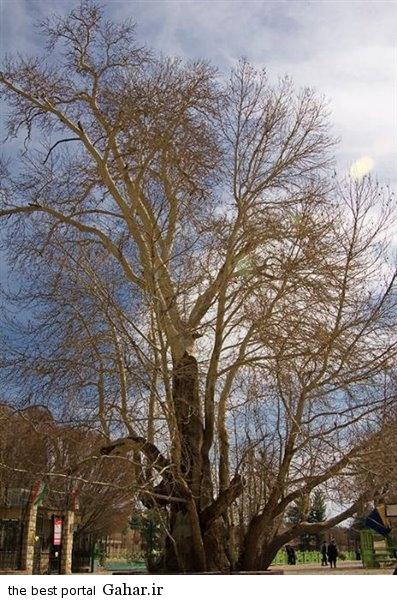 3 large درخت شیرین و فرهاد / عکس