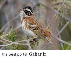 index11 پرنده چکاوک را می شناسید؟