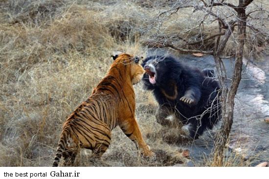 news93494pic2 2015 2 14 11 49 تصاویری از مبارزه خرس با ببر برای نجات فرزندانش