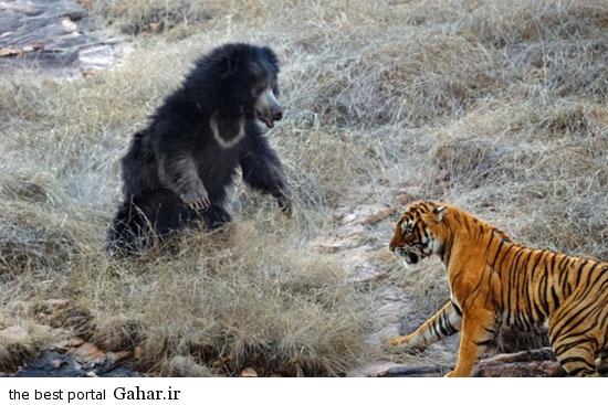 news93494pic4 2015 2 14 11 49 تصاویری از مبارزه خرس با ببر برای نجات فرزندانش
