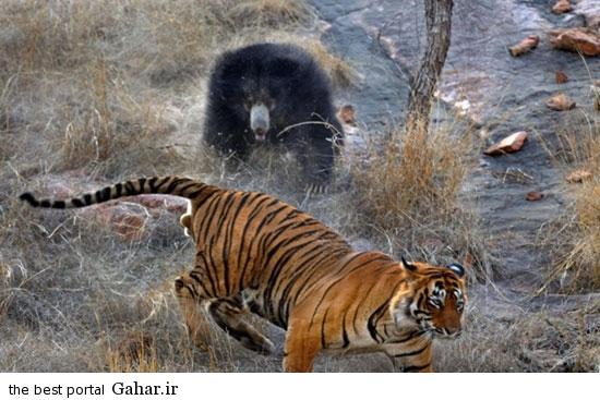 news93494pic6 2015 2 14 11 49 تصاویری از مبارزه خرس با ببر برای نجات فرزندانش