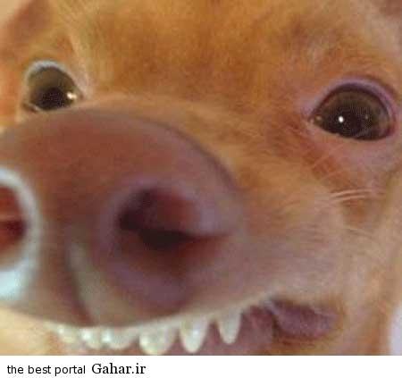 خنده دار 1 تصاویر از یک سگ زشت که عکس روی تی شرت شد!