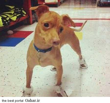 خنده دار 2 تصاویر از یک سگ زشت که عکس روی تی شرت شد!