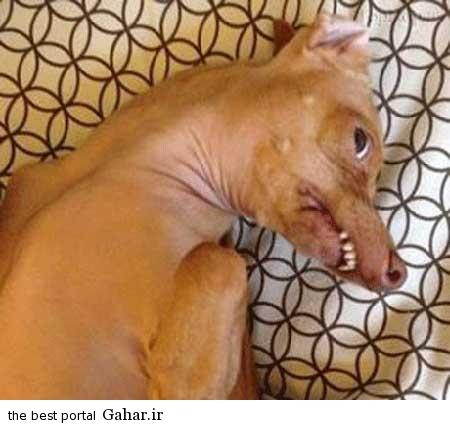 خنده دار 5 تصاویر از یک سگ زشت که عکس روی تی شرت شد!