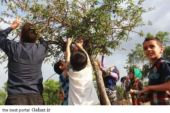 528607 642 تصاویری از آئین سنتی پنجاه بدر در قزوین