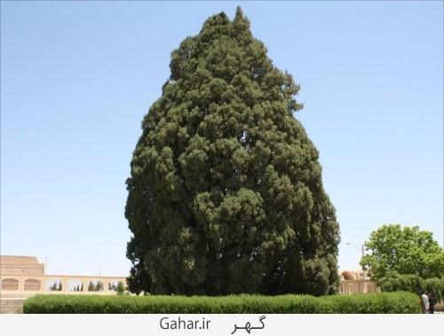 big tree 1 500x379 عکس ; بزرگترین درخت دنیا در یزد