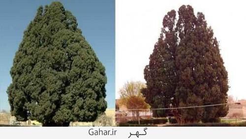 big tree 2 500x282 عکس ; بزرگترین درخت دنیا در یزد