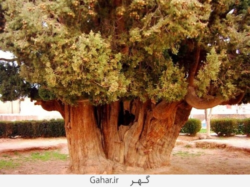 big tree 3 500x375 عکس ; بزرگترین درخت دنیا در یزد