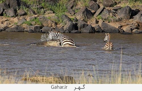 goorekhar 1 تصاویر ناراحت کننده از شکار گورخر توسط کروکودیل و پلنگ