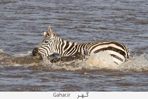 goorekhar 2 تصاویر ناراحت کننده از شکار گورخر توسط کروکودیل و پلنگ