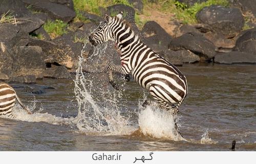goorekhar 3 تصاویر ناراحت کننده از شکار گورخر توسط کروکودیل و پلنگ