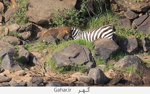 goorekhar 6 تصاویر ناراحت کننده از شکار گورخر توسط کروکودیل و پلنگ