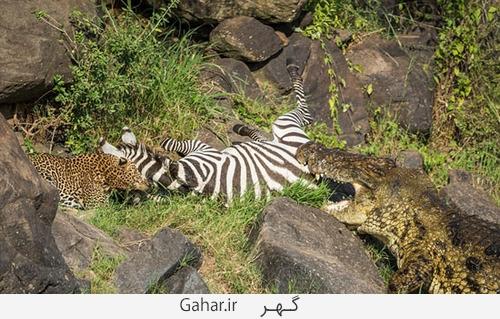 goorekhar 7 تصاویر ناراحت کننده از شکار گورخر توسط کروکودیل و پلنگ
