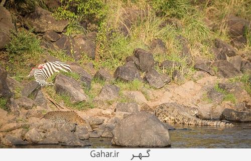 goorekhar 9 تصاویر ناراحت کننده از شکار گورخر توسط کروکودیل و پلنگ