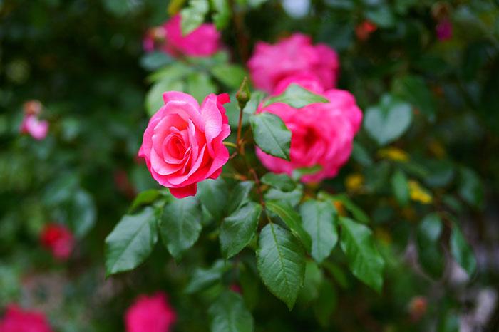 643187 Gahar ir عکس پروفایل گل های خاص و زیبا