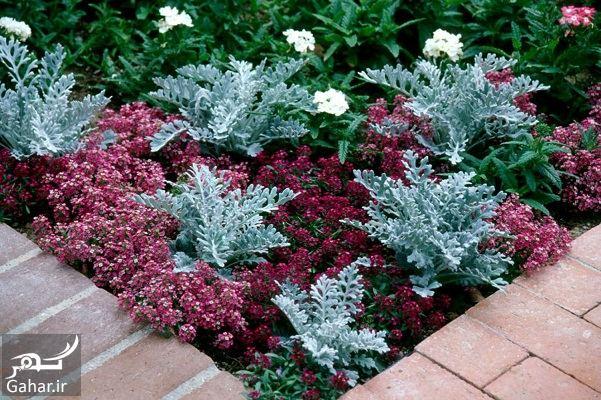 008055 Gahar ir گیاه الیسوم ، اطلاعات کامل درباره انواع گل زیبای الیسوم