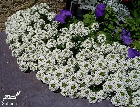 511397 Gahar ir گیاه الیسوم ، اطلاعات کامل درباره انواع گل زیبای الیسوم