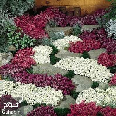 535986 Gahar ir گیاه الیسوم ، اطلاعات کامل درباره انواع گل زیبای الیسوم