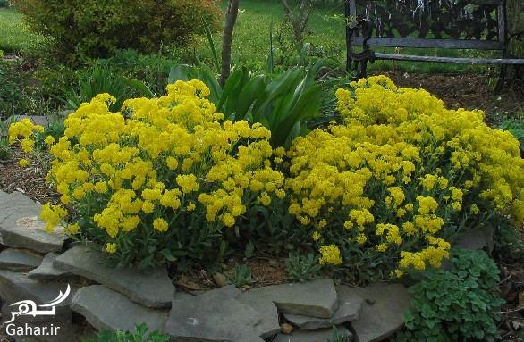 940323 Gahar ir گیاه الیسوم ، اطلاعات کامل درباره انواع گل زیبای الیسوم