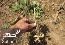 روش کاشت بادام زمینی, جدید 1400 -گهر