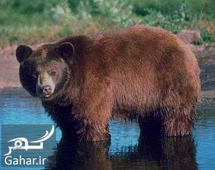 316312 Gahar ir تعبیر خواب خرس سیاه