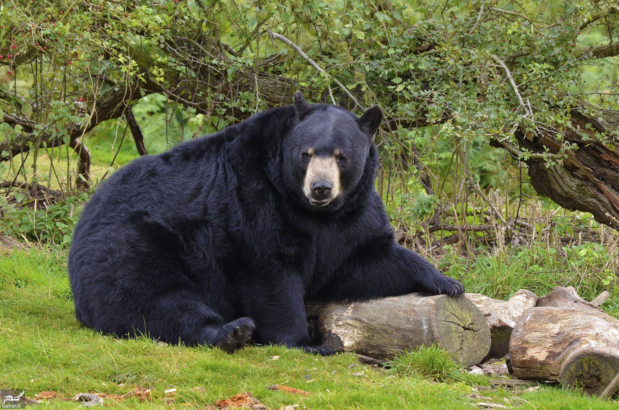 334574 Gahar ir تعبیر خواب خرس سیاه