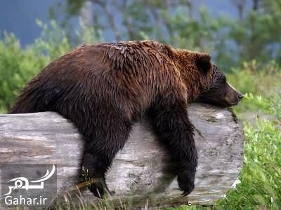 653839 Gahar ir تعبیر خواب خرس سیاه