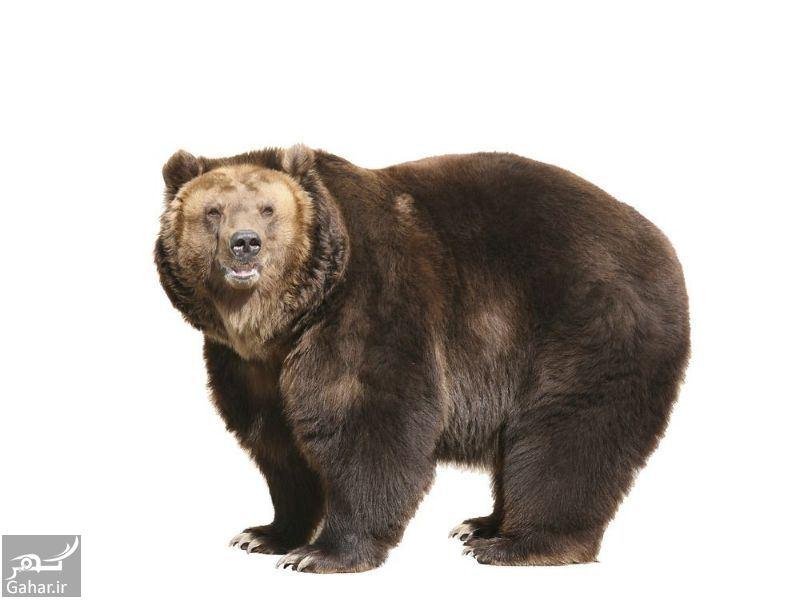 754960 Gahar ir تعبیر خواب خرس سیاه