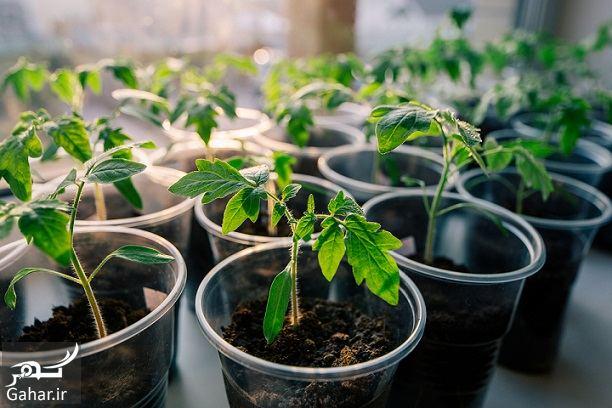 887596 Gahar ir روش کاشت گوجه فرنگی در زمین ، چطور نشا گوجه بکاریم؟