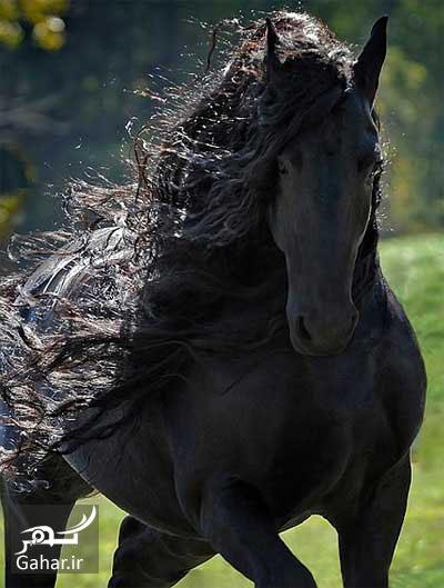 1464276935 عکس های زیباترین اسب جهان