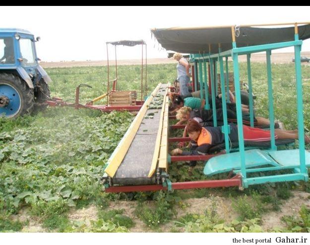 635408504324085909229414 973 شیوه عجیب درو محصولات کشاورزی !