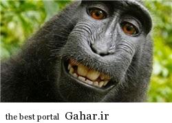 عکس سلفی یک میمون از خودش اینترنت را بهم ریخت, جدید 1400 -گهر